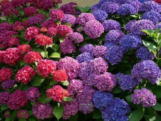 Zkrášlete si zahradu hortenziemi!